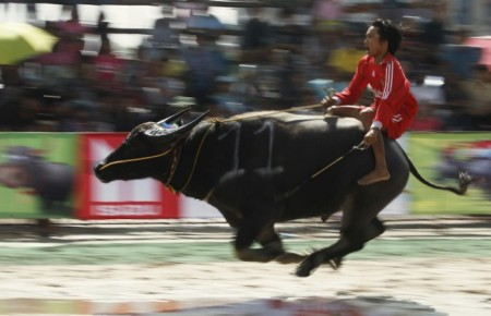 Thaïlande : Les courses de buffles sur le devant de la scène